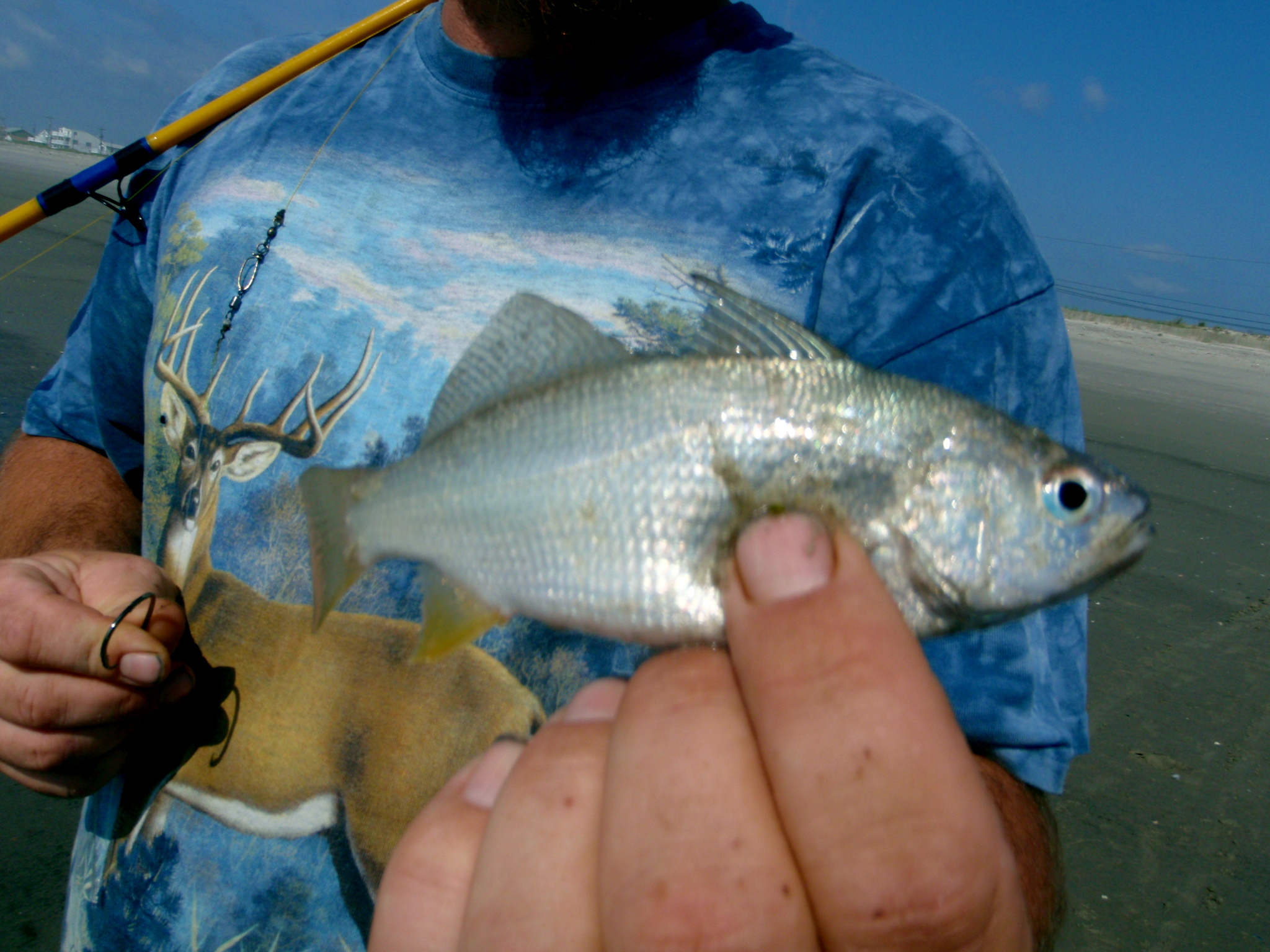 Cape may fishing report strathmere beach fishing for Nj saltwater fishing report